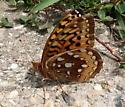 Speyeria - Speyeria cybele - female