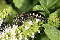 Wasp - Myzinum obscurum - female
