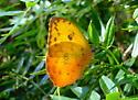 Orange Barred Sulphur - Phoebis philea