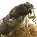 cicada id please - Tibicen tibicen