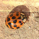 Multicolored Asian Lady Beetle (Harmonia axyridis) - Harmonia axyridis