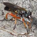 Robber Fly with Red Legs - Laphria sadales