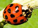 Lady Beetle? - Harmonia axyridis