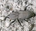 weevil - Sphenophorus coesifrons