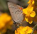 Satyrium californica - Satyrium californicum