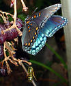 Red Spotted Purple and Jacket - Limenitis arthemis