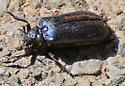 Roadside Beetle MidDay - Sandalus