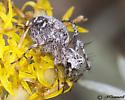 Spider on Rabbitbrush - Oxyopes scalaris