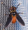 Trichopoda sp. for ID - Trichopoda