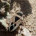 Msytery Bug - Xanthochilus saturnius