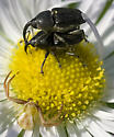 Dangerous Liason - Odontocorynus umbellae - male - female