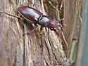 Reddish-brown Stag Beetle (Lucanus capreolus) - Lucanus capreolus