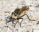 Robber Fly ID request - Proctacanthus fulviventris