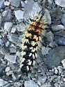 tiger moth sp instar? - Acronicta impressa