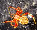spider - Neoscona - female