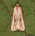Crambodes talidiformis