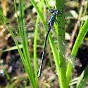 Lestidae 7.26.09 01a - Lestes dryas