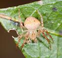 Another Araneus - Araneus miniatus - male