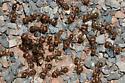 Red Harvester Ants - Pogonomyrmex barbatus
