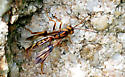Unknown Wasp - Ibalia anceps