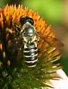 Large megachilid - Megachile pugnata - female