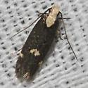 Moth unknown - Chionodes donatella