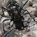 Iridescent black longhorn beetle with slightly asymmetrical white spots - Monochamus scutellatus