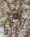 Spider on Pin Oak Tree - Dolomedes