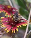 long-horned bee - Svastra