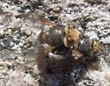 Tachinidae? - Gonia sagax - male - female