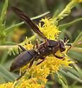 Wasp - Polistes fuscatus - male
