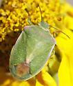 unknown stink bug - Thyanta custator