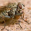 Fly (Muscoidea?) with prey - Coenosia tigrina