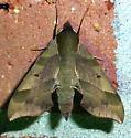 7885     Virginia Creeper Sphinx     (Darapsa myron) - Darapsa myron
