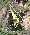 Anise Swallowtail ? - Papilio polyxenes