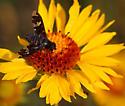 Exoprosopa dorcadion on blanket flower - Exoprosopa dorcadion
