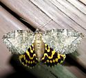 Locust Underwing - Euparthenos nubilis