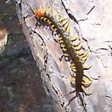 Giant Red-headed centipede - Scolopendra heros