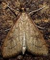 Celery Leaftier - Hodges#5079 - Udea rubigalis