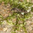 mosquito - Culiseta incidens - female