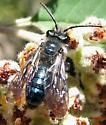 Andrena Bee - Andrena cerasifolii
