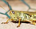 yellowgreen grasshopper - Melanoplus differentialis - female