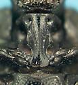 Histerid - Euspilotus