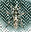 Texas SE Gulf Coast - Andrenosoma? - Andrenosoma xanthocnemum - male