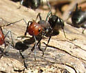 Carpenter Ants? - Formica obscuripes - female
