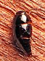 Rove - Coproporus