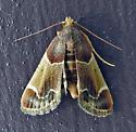 800072 – 5510 – Pyralis farinalis – Meal Moth - Pyralis farinalis