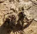Tan variation - Phidippus otiosus - female