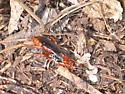 Red spider wasp - Tachypompilus ferrugineus