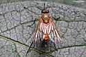 Type of fly?  - Rhagio